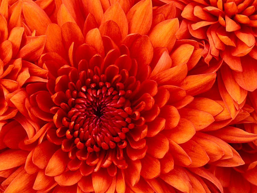 TEST/Chrysanthemum.jpg